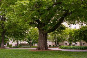 Oldest Oak on Campus Spring 2012