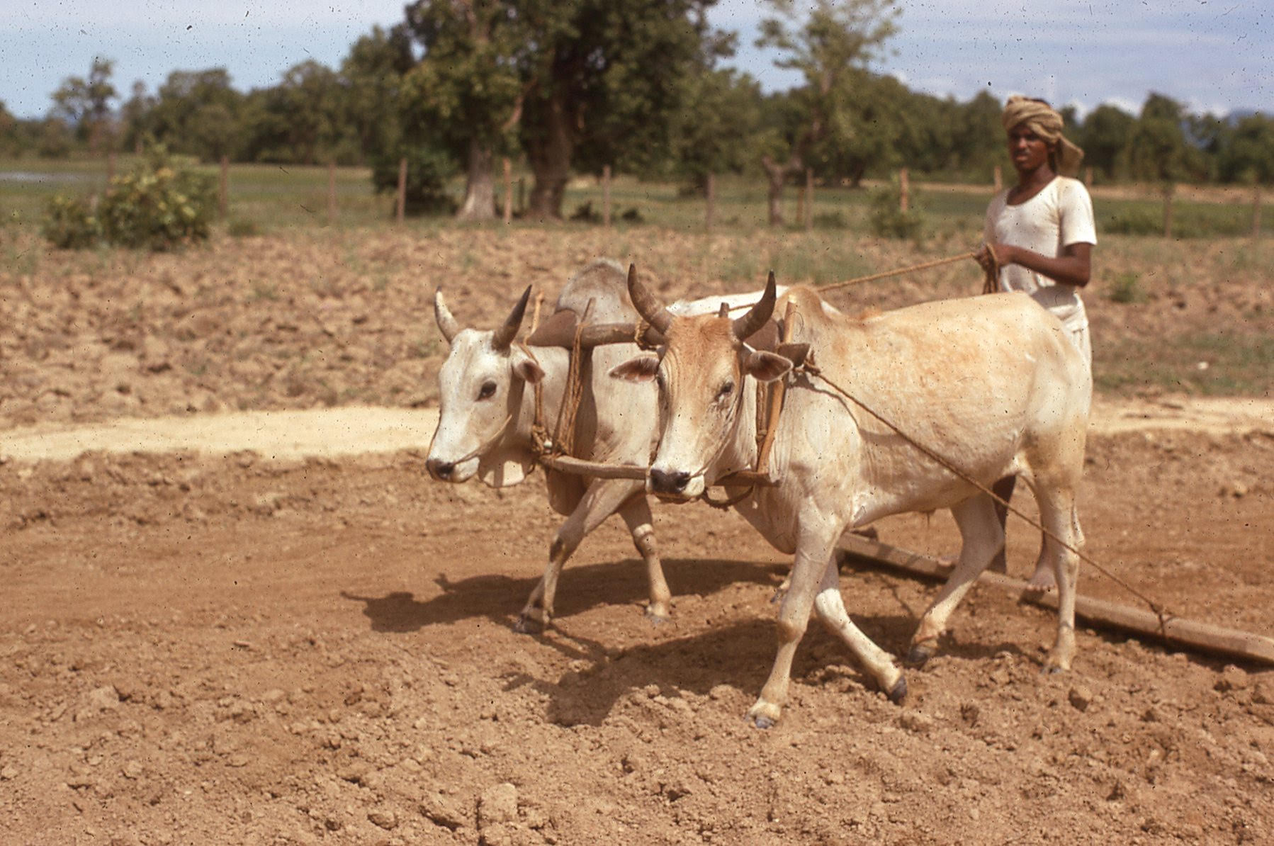 Landscape in Nepal of a muddy field. Two oxen plow the field led by a man from the village.