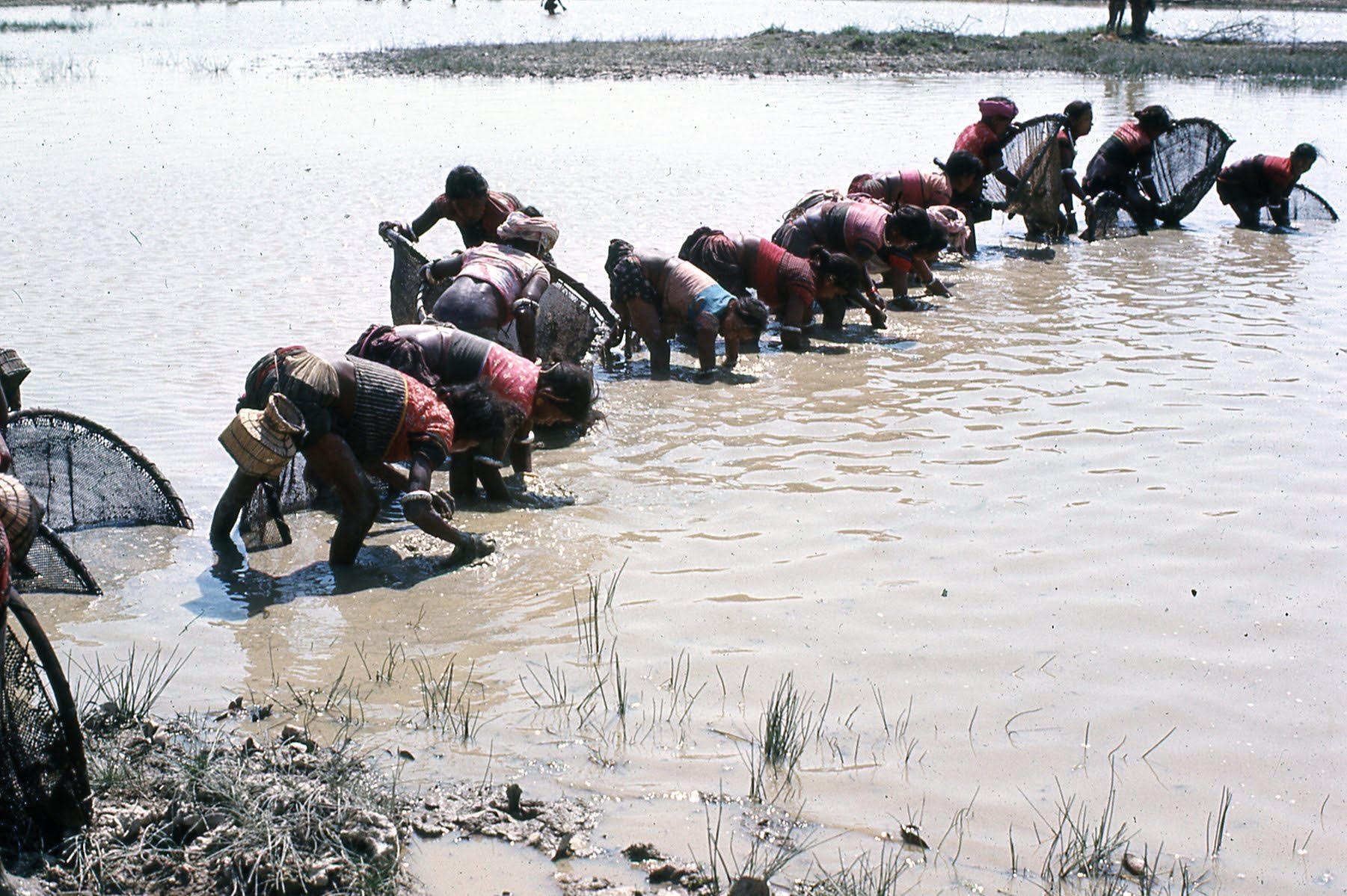 A line of Tharu women fish with nets in a local lake.